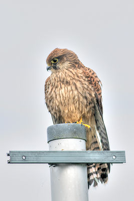 Kestrel photographed at L'Eree [LER] on 5/8/2015. Photo: © Rod Ferbrache