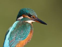 Kingfisher. Photo: © Dan Scott