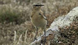 Wheatear photographed at Fort Hommet [HOM] on 12/8/2015. Photo: © Colin Mucklow
