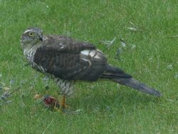 Sparrowhawk photographed at FINISTERRE,RTE.DU TERTRE on 25/8/2015. Photo: © Tony Grange