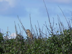 Wryneck photographed at Pleinmont [PLE] on 2/9/2015. Photo: © Tony Bisson
