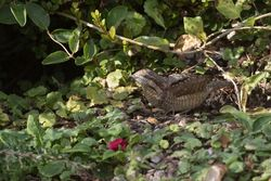 Wryneck photographed at Rue des Bergers [BER] on 5/9/2015. Photo: © Vic Froome