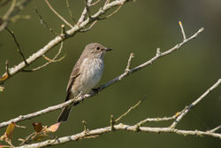 Spotted Flycatcher photographed at Grands Marais/Pre [PRE] on 9/9/2015. Photo: © Rod Ferbrache
