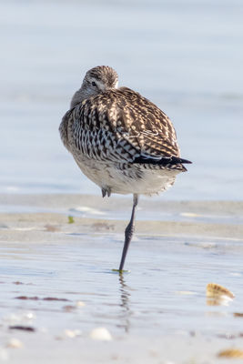 Bar-tailed Godwit photographed at Richmond [RIC] on 8/9/2015. Photo: © Rod Ferbrache
