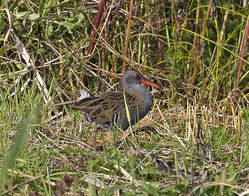 Water Rail photographed at Rue des Bergers [BER] on 7/9/2015. Photo: © Mike Cunningham