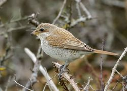 Red-backed Shrike photographed at Pleinmont [PLE] on 26/9/2015. Photo: © Cindy  Carre