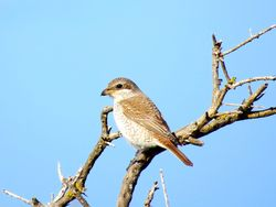 Red-backed Shrike photographed at Pleinmont [PLE] on 26/9/2015. Photo: © Mark Guppy