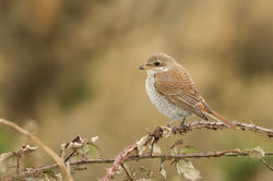 Red-backed Shrike photographed at Pleinmont [PLE] on 26/9/2015. Photo: © Anthony Loaring