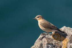Wheatear photographed at Pleinmont [PLE] on 28/9/2015. Photo: © Rod Ferbrache