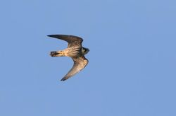 Hobby photographed at Pleinmont [PLE] on 28/9/2015. Photo: © Vic Froome