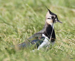 Lapwing photographed at Pleinmont [PLE] on 1/10/2015. Photo: © Albert Harvey