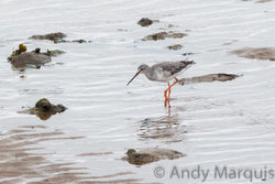 Spotted Redshank photographed at Bordeaux [BOR] on 5/10/2015. Photo: © Andy Marquis