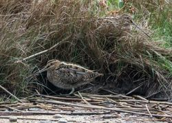 Snipe photographed at Claire Mare [CLA] on 6/10/2015. Photo: © Vic Froome