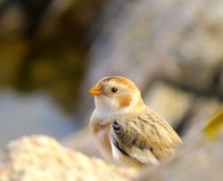 Snow Bunting photographed at Fort Hommet [HOM] on 7/10/2015. Photo: © Mark Guppy