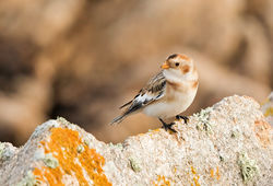 Snow Bunting photographed at Fort Hommet [HOM] on 7/10/2015. Photo: © Anthony Loaring