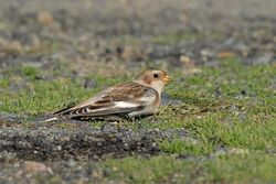 Snow Bunting photographed at Fort Le Crocq [FLC] on 8/10/2015. Photo: © Jason Friend