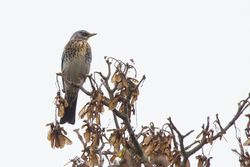 Fieldfare photographed at Candie, STA [CA2] on 17/10/2015. Photo: © Jason Friend