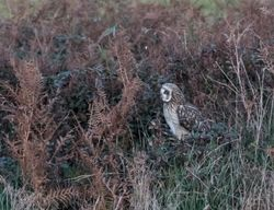 Short-eared Owl photographed at Pleinmont [PLE] on 17/10/2015. Photo: © Vic Froome