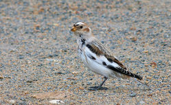 Snow Bunting photographed at Vazon [VAZ] on 19/10/2015. Photo: © Mark Lawlor