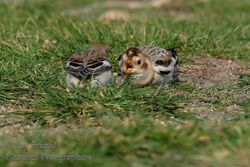 Snow Bunting photographed at Vazon [VAZ] on 20/10/2015. Photo: © Jason Friend