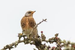 Fieldfare photographed at Long Trac,STM on 23/10/2015. Photo: © Jason Friend