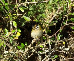 Firecrest photographed at Rue de Valniquets [RDV] on 25/10/2015. Photo: © Mark Guppy
