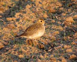 Golden Plover photographed at Rue des Hougues, STA [H04] on 25/10/2015. Photo: © Mark Guppy