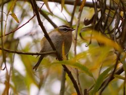 Firecrest photographed at Bigard [BIG] on 26/10/2015. Photo: © Mark Guppy