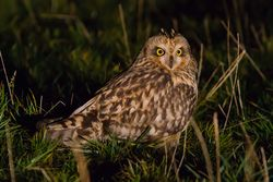 Short-eared Owl photographed at Airport [AIR] on 31/10/2015. Photo: © Adrian Gidney