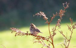 Reed Bunting photographed at Pleinmont [PLE] on 31/10/2015. Photo: © Mark Guppy