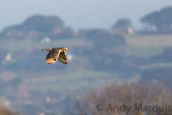 Short-eared Owl photographed at Pleinmont [PLE] on 1/11/2015. Photo: © Andy Marquis