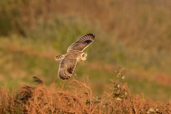 Short-eared Owl photographed at Pleinmont [PLE] on 1/11/2015. Photo: © Rod Ferbrache