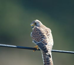 Kestrel photographed at Rocquaine [ROC] on 30/10/2015. Photo: © Steve and Hilary Wild