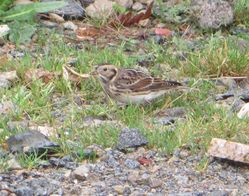 Lapland Bunting photographed at Chouet [CHO] on 7/11/2015. Photo: © Harry Rouillard