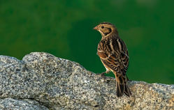 Lapland Bunting photographed at Chouet [CHO] on 7/11/2015. Photo: © Anthony Loaring