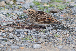 Lapland Bunting photographed at Chouet [CHO] on 8/11/2015. Photo: © Rod Ferbrache