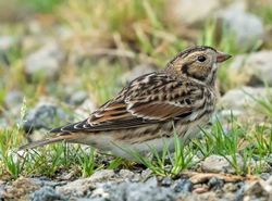 Lapland Bunting photographed at Chouet [CHO] on 8/11/2015. Photo: © Cindy  Carre