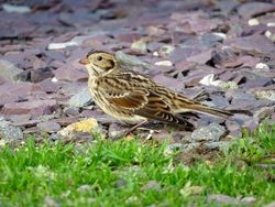 Lapland Bunting photographed at Chouet [CHO] on 8/11/2015. Photo: © Mark Guppy