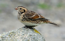 Lapland Bunting photographed at Chouet [CHO] on 8/11/2015. Photo: © Judy Down