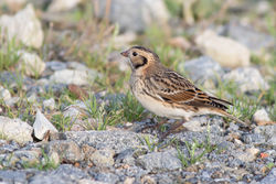 Lapland Bunting photographed at Chouet [CHO] on 9/11/2015. Photo: © Rod Ferbrache