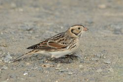 Lapland Bunting photographed at Chouet [CHO] on 10/11/2015. Photo: © Jason Friend