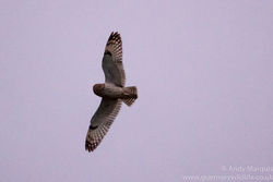 Short-eared Owl photographed at Select location on 6/12/2015. Photo: © Andy Marquis
