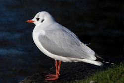 Black-headed Gull photographed at Saumarez Park [SAU] on 7/12/2015. Photo: © Rod Ferbrache