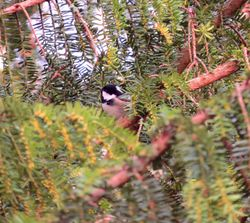 Coal Tit photographed at Saumarez Park [SAU] on 21/12/2015. Photo: © Mark Guppy