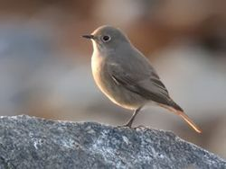 Black Redstart photographed at Pulias [PUL] on 26/12/2015. Photo: © Tony Grange