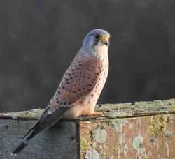Kestrel photographed at Pulias [PUL] on 26/12/2015. Photo: © Tony Grange