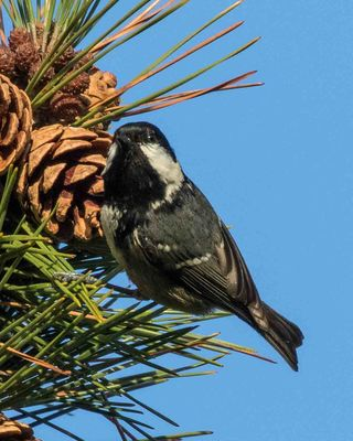 Coal Tit photographed at Saumarez Park [SAU] on 29/12/2015. Photo: © Cindy  Carre