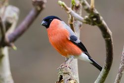Bullfinch photographed at Portelet [PET] on 6/1/2016. Photo: © Adrian Gidney