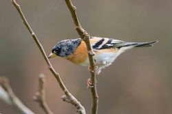 Brambling photographed at Portelet [PET] on 6/1/2016. Photo: © Adrian Gidney