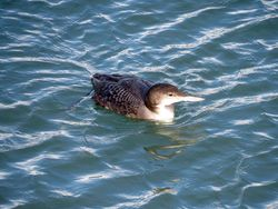 Great Northern Diver photographed at Town Harbour [TOW] on 10/1/2016. Photo: © Mark Guppy